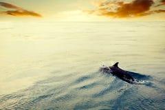 Delfinbanhoppning i havet på solnedgången Maldiverna Arkivfoto