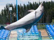 Delfinbanhoppning i pölen Arkivfoto