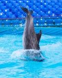 Delfinbanhoppning i pölen Royaltyfri Fotografi