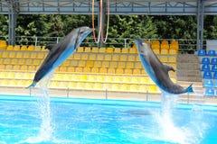 Delfinbanhoppning till och med en cirkel Fotografering för Bildbyråer