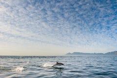 Delfinbanhoppning ut ur vattnet Fotografering för Bildbyråer