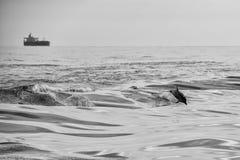 Delfinbanhoppning utanför havet Royaltyfria Foton