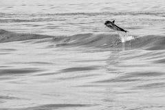 Delfinbanhoppning utanför havet Arkivfoton