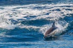 Delfinbanhoppning utanför havet Royaltyfria Bilder