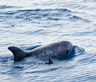 delfinbarn Arkivbilder
