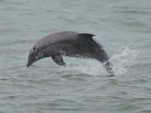 Delfinbrytning Arkivfoto
