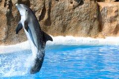 Delfindansen i vatten i Loro parkerar, Tenerife Arkivbilder