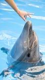 Delfinen följer handen Royaltyfria Bilder
