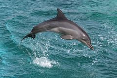 delfinen hoppar Arkivbild
