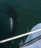 delfinen sid white Royaltyfri Foto