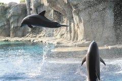 delfiner Royaltyfri Foto