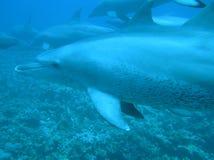 delfiner Fotografering för Bildbyråer