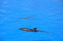 delfiner Arkivbilder