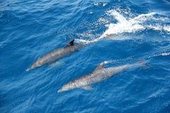 Delfiner. Arkivfoton