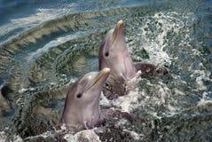 delfiner fördubblar upp Royaltyfri Fotografi