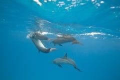 delfiner som parar ihop den wild spinneren Royaltyfria Foton