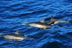 delfiner som simmar tre arkivfoto