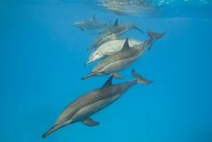 delfiner som skolar den wild spinneren Arkivbild