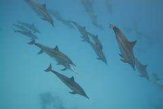 delfiner som skolar den wild spinneren Royaltyfri Foto