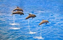 delfiner som ut hoppar vatten Arkivfoto