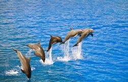 delfiner som ut hoppar vatten Arkivbilder
