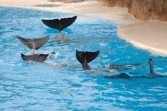delfiner som wawing royaltyfria bilder