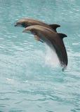 delfiner två Royaltyfri Fotografi