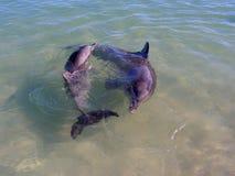 delfiner två Arkivbilder