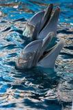 delfiner två Arkivfoto