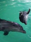 delfiner två Fotografering för Bildbyråer