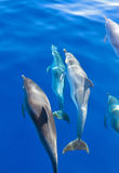 delfiner under vatten royaltyfria bilder