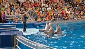 delfiner utför instruktörkvinnan Arkivfoto