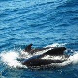 Delfines que nadan en el mediterráneo Imagenes de archivo
