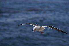Delfinfiskmås i flykten Royaltyfri Bild