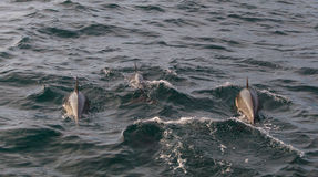 Delfinfröskida Arkivbilder