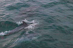 Delfinfröskida Arkivfoton