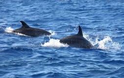 delfinhoppet ut water Arkivfoton