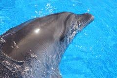 Delfinhuvudbild - materielfoto Royaltyfria Bilder