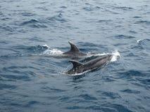 Delfini. Fotografia Stock Libera da Diritti