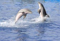 Delfini Fotografie Stock
