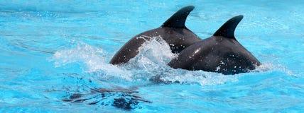 Delfini in acqua blu Immagine Stock