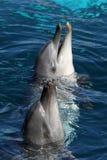 Delfini amichevoli immagine stock
