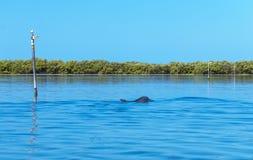 Delfini che alimentano mania furiosa immagine stock libera da diritti