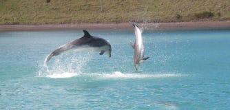 Delfini che giocano, baia delle isole, Nuova Zelanda Immagini Stock Libere da Diritti