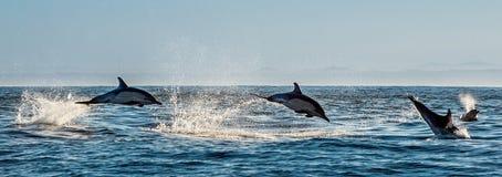 Delfini che nuotano e che saltano nell'oceano Immagini Stock Libere da Diritti
