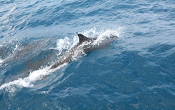 Delfini che nuotano a Fernando de Noronha Fotografie Stock
