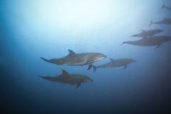 Delfini che nuotano insieme vista sotto l'acqua Fotografie Stock Libere da Diritti