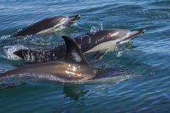 Delfini che nuotano nel selvaggio Fotografia Stock
