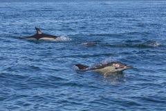Delfini che nuotano nell'Algarve Fotografia Stock Libera da Diritti