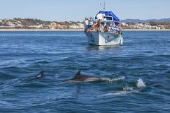 Delfini che nuotano nell'Algarve Fotografie Stock Libere da Diritti